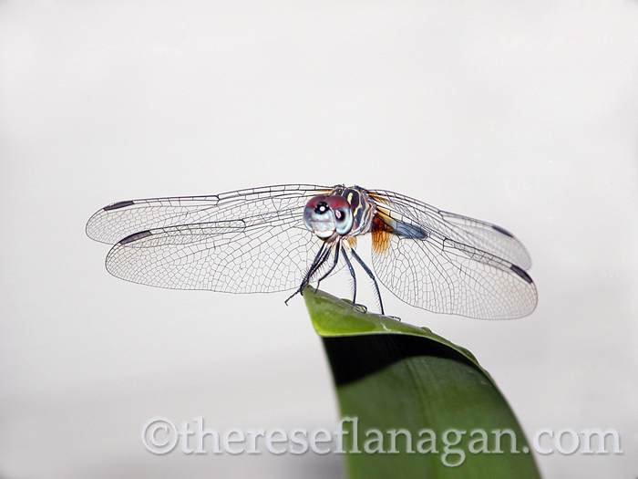 dragonfly on leaf.jpg