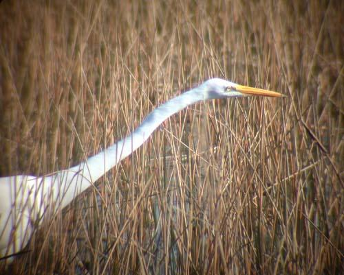 heron stretched neck.jpg
