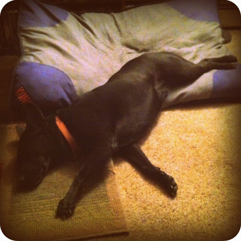 sleeping black lab