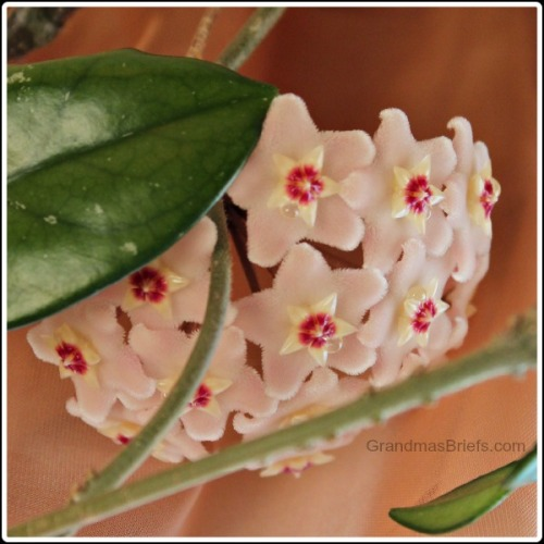 strong-scented hoya