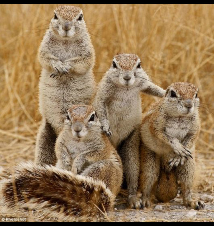 prairie dog band