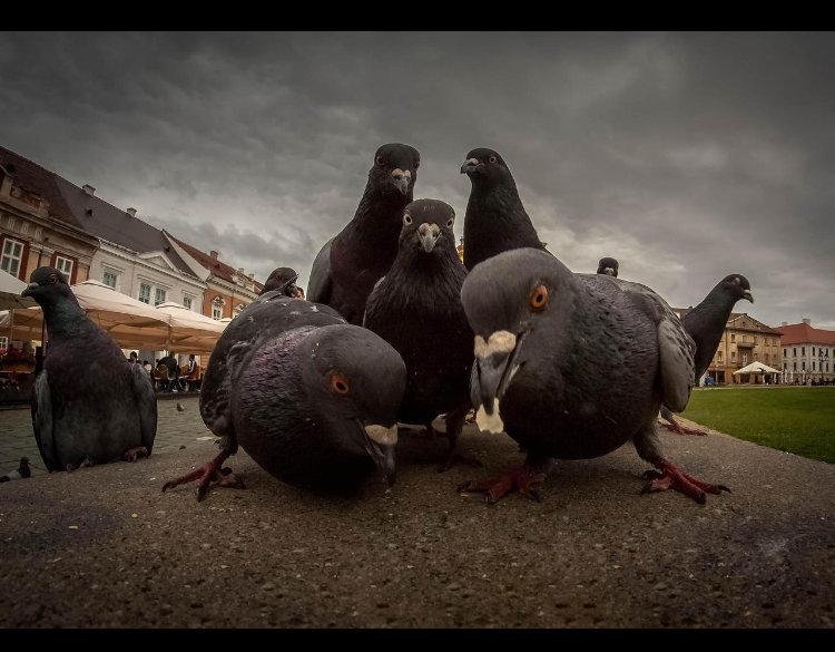 pigeon band