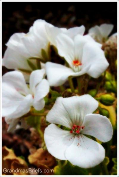 desert begonia