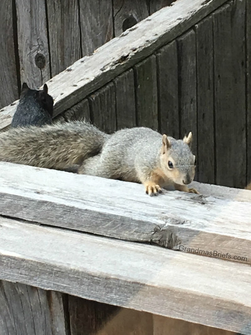 brown squirrel and black squirrel