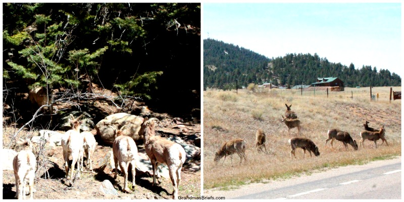 bighorn sheep and deer