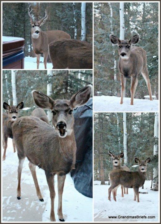begging deer