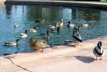 ducks at park 10 things love.JPG
