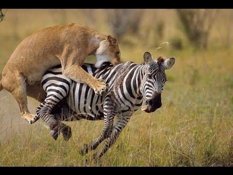 lion zebra.jpg