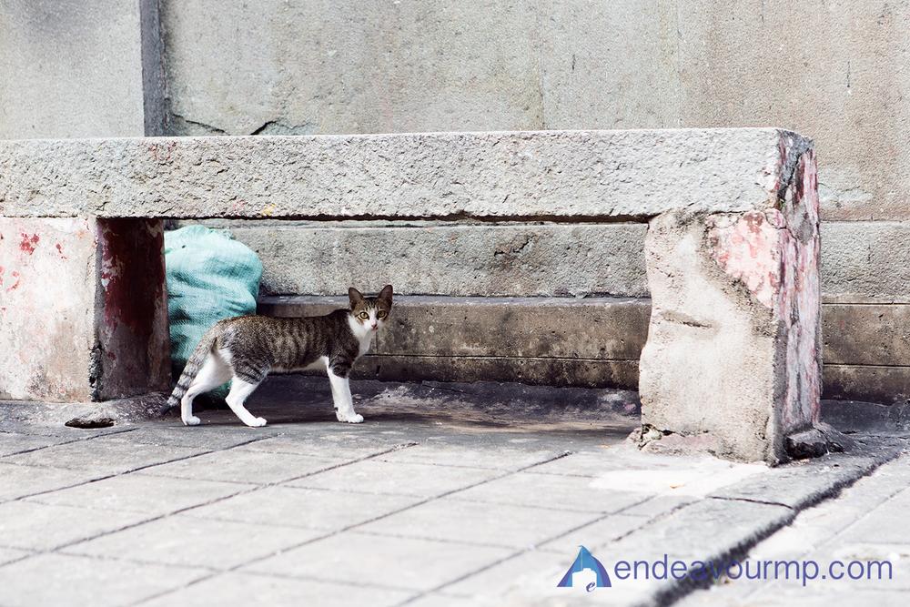 Temple Cat!