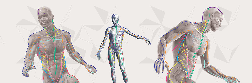 The Anatomy Trains is the framework for the ATSI series. Here the Anatomy Trains is represented with the colored lines, superimposed on moving and static postures. Try and picture in your mind's how posture and movement will be effected if one or more of these lines get pulled short.  (Used with permission from  Tom Myers and Anatomy Trains )