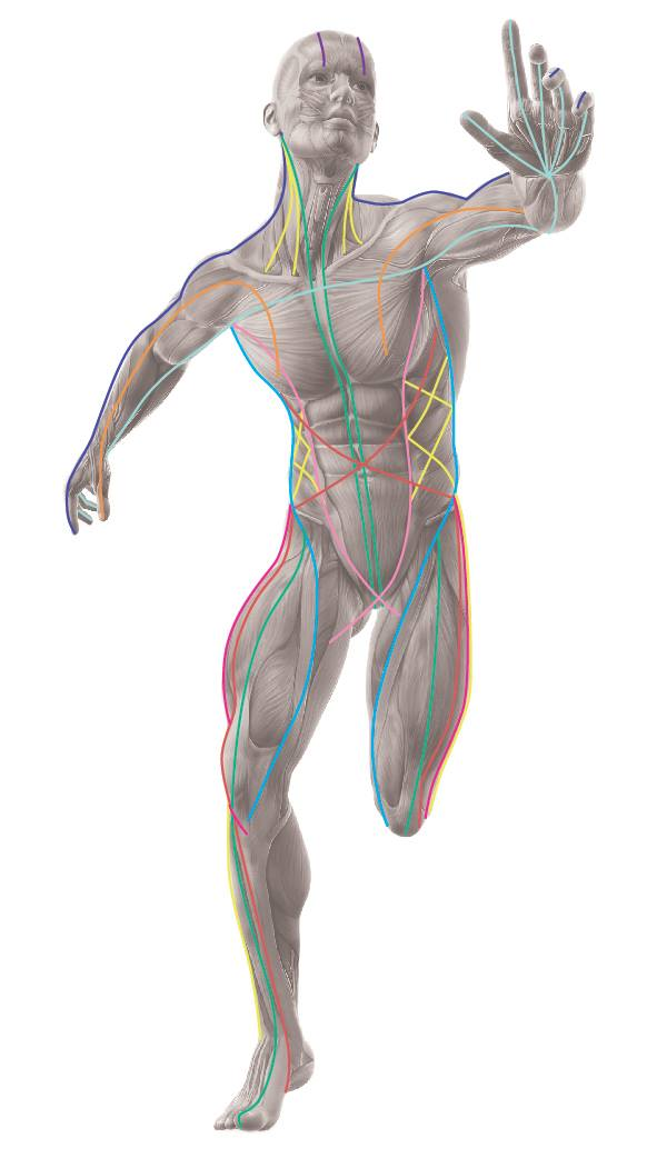 Anatomy Trains And Atsi Body In Focus