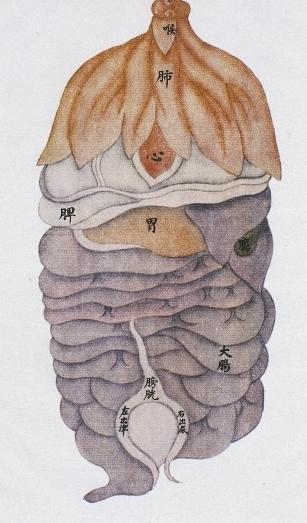 Chinese Medicine Organ System