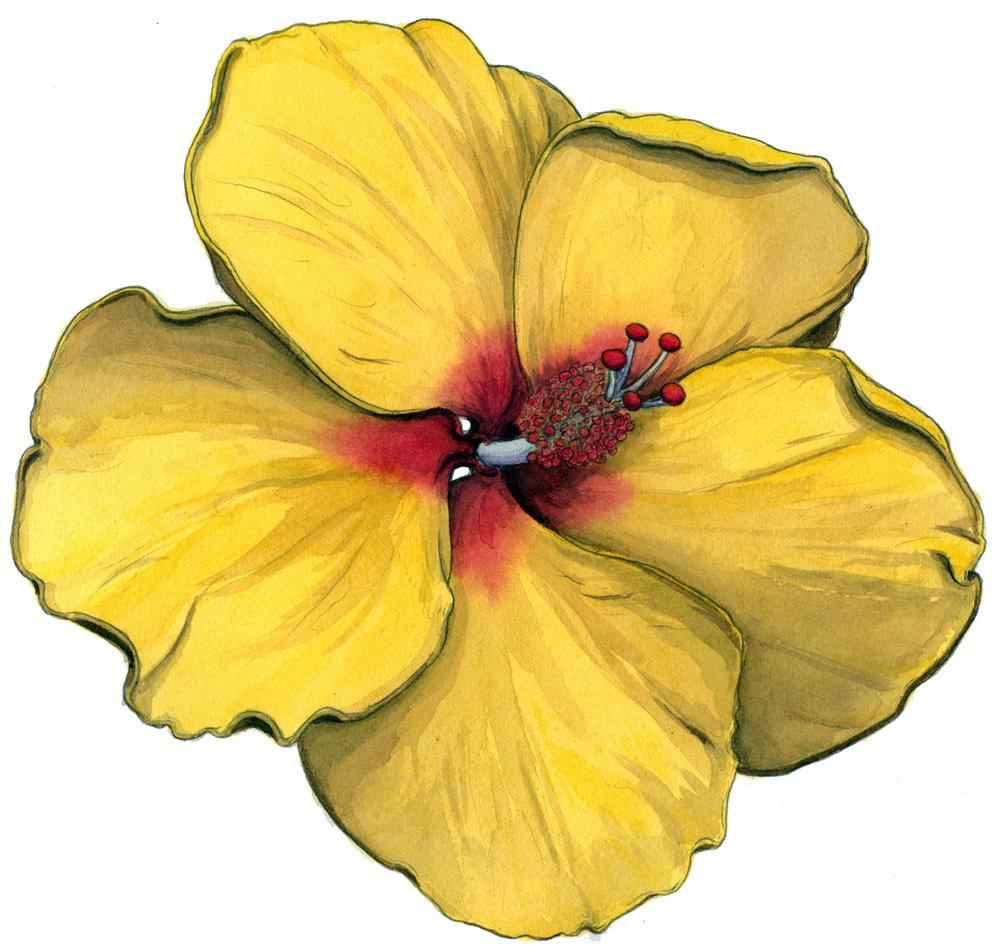 Hibiscus Boner