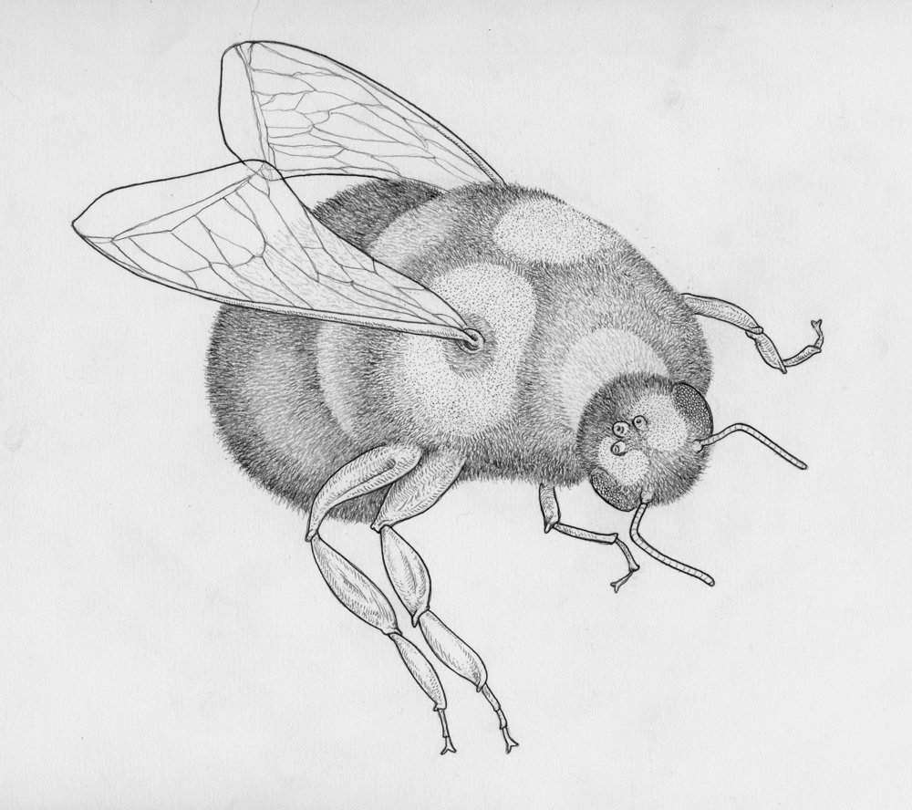 shaved-bee-2-graphite-web.jpg