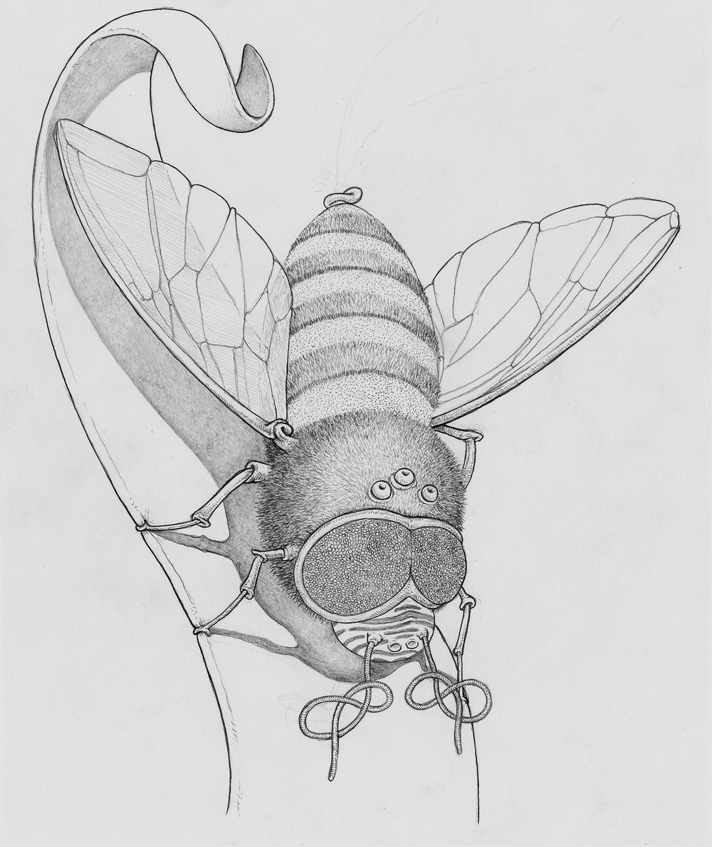 shaved-bee-3-graphite-web.jpg
