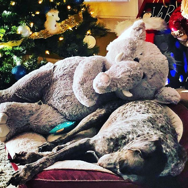 Post Christmas nap with her new toy #gsp #gspofinstagram