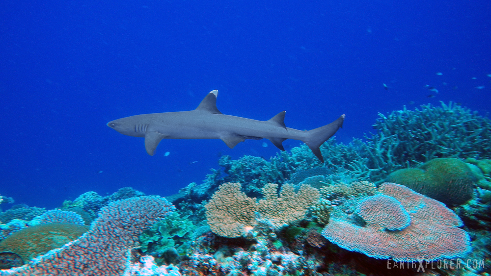 WhiteTip Shark_Fiji.jpg
