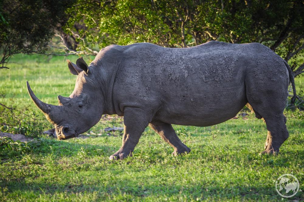 Rhino_Solo.jpg