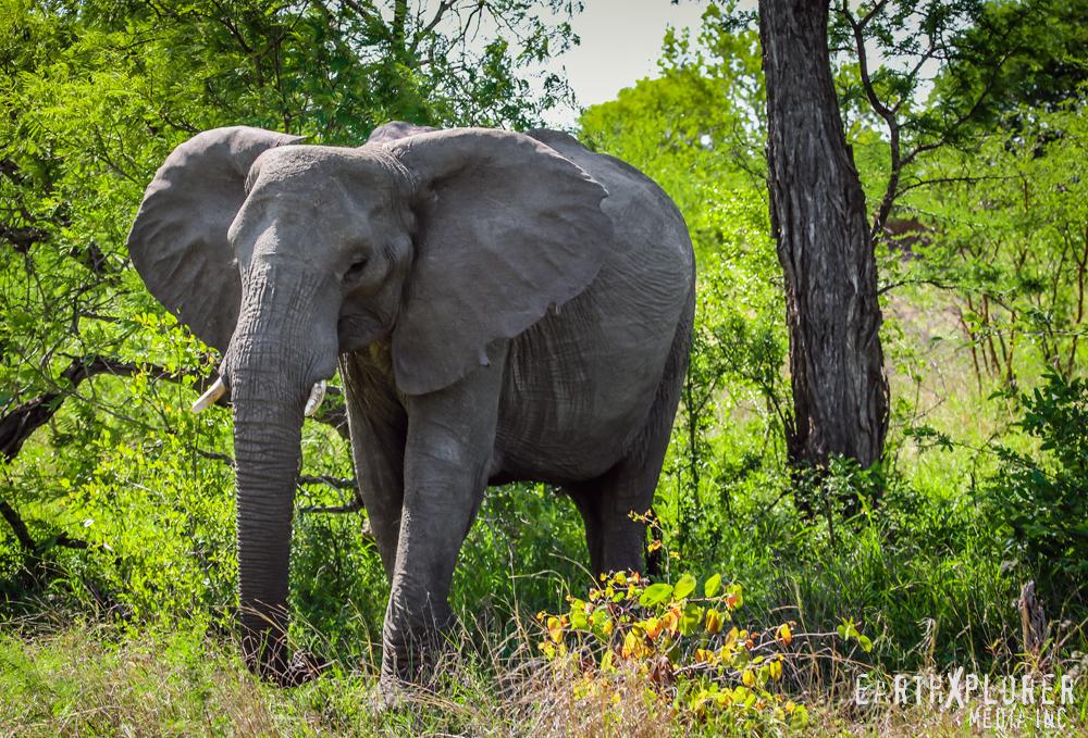African_bull_elephant.jpg