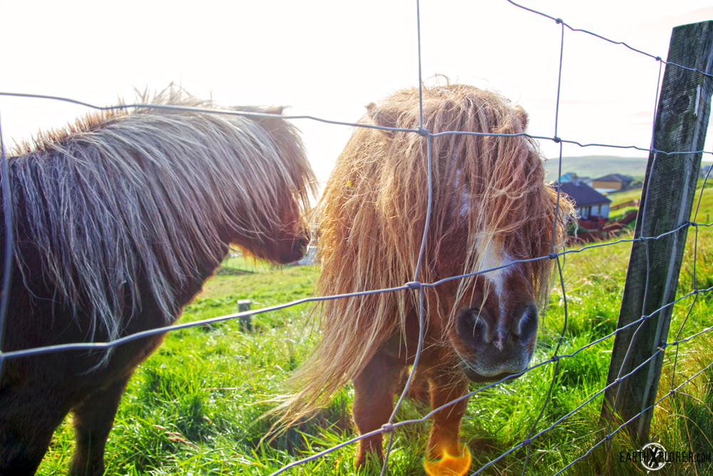 Small Cute And Irresistible Shetland Ponies Scotland