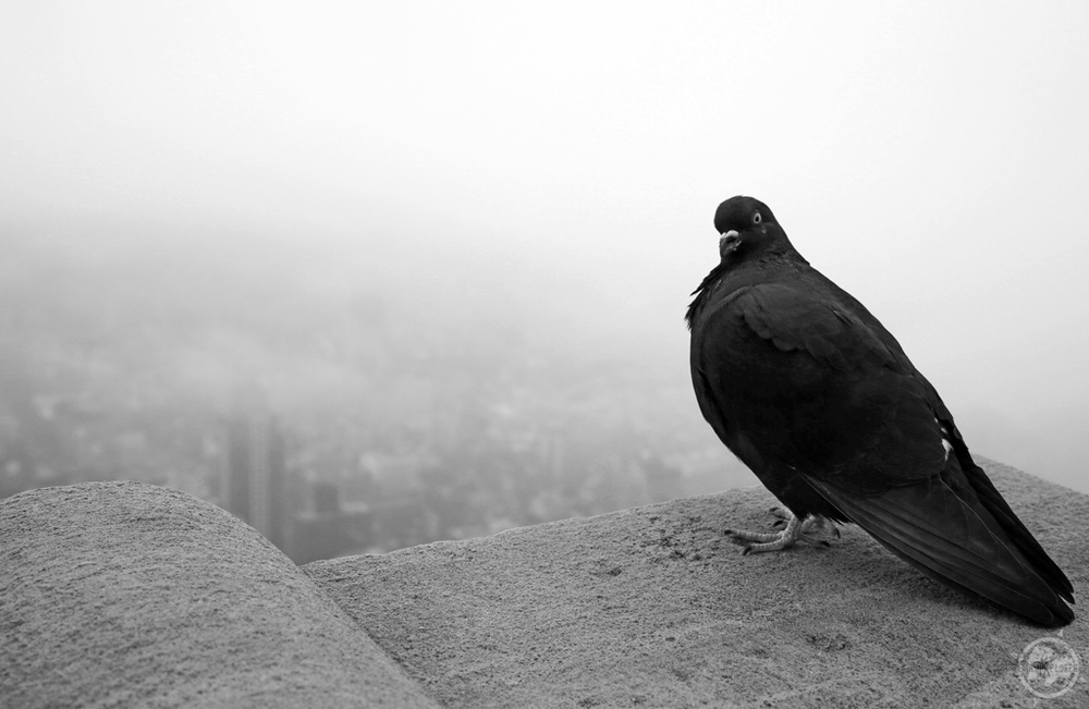 New York City Piegon in black and white.jpg