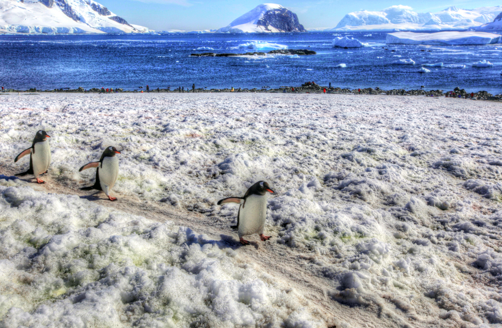 Three Cute Penguins Waddle By on Danko Island, Antarctica