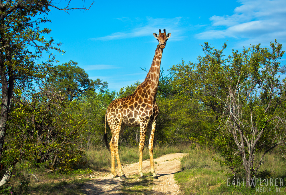 Gorgeous Giraffe South Africa.jpg