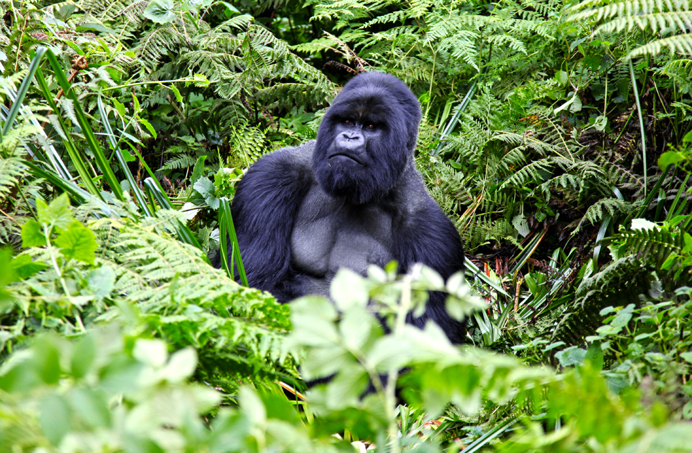 Silver Back Gorilla checking us out