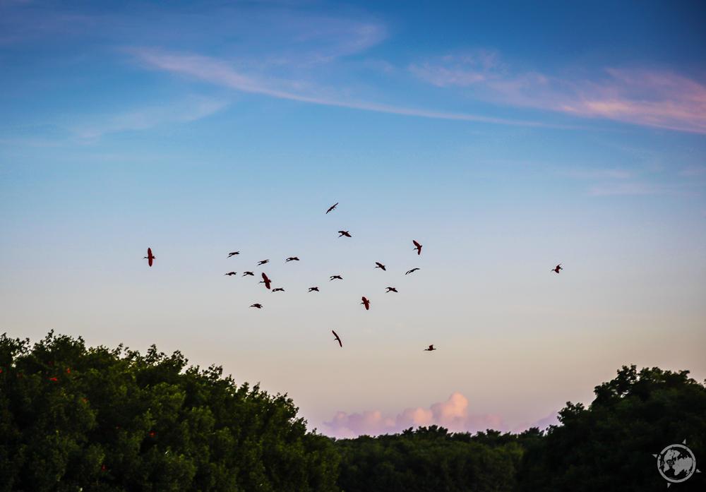 Scarlet Ibis_Trinidad_Sunset.jpg
