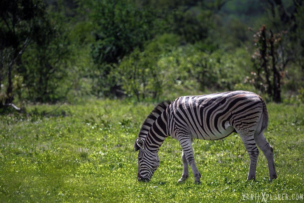 Zebra_South_Africa.jpg