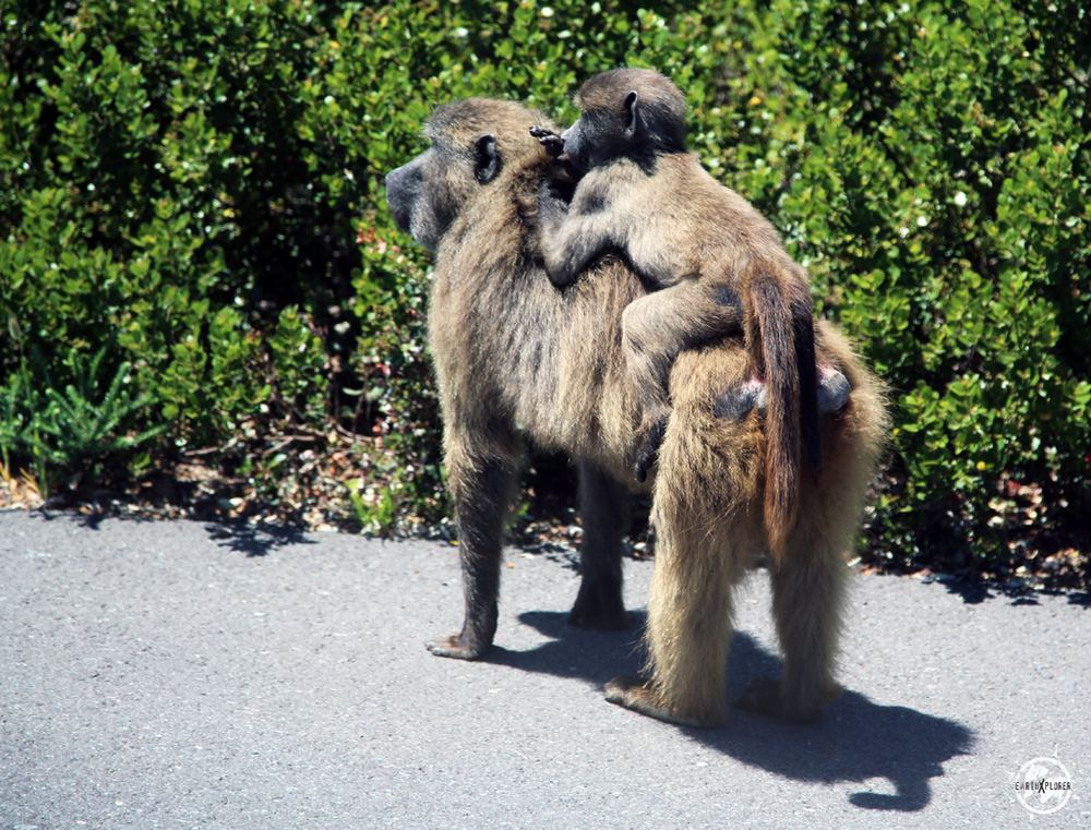 Chacma Baboons at Cape Peninsula in South Africa