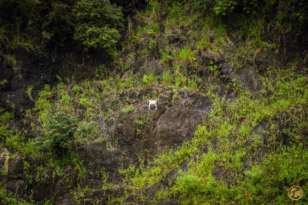 Goat on hill inFiji.jpg
