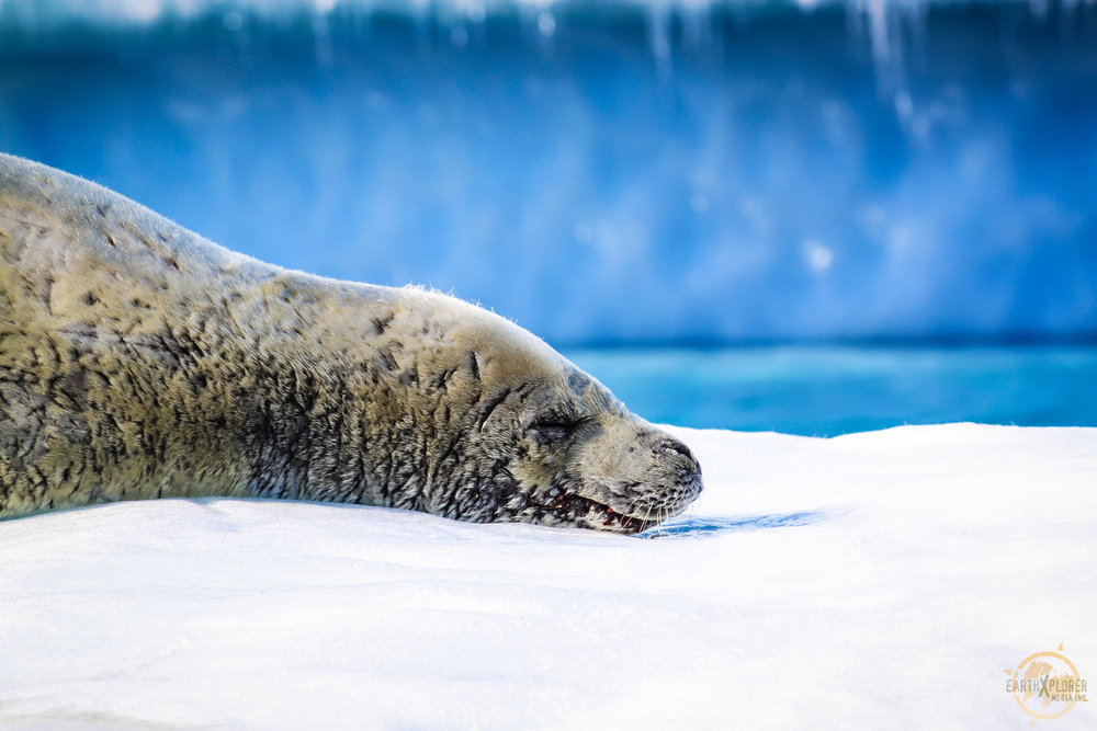 Old Seal in Antarctica.jpg