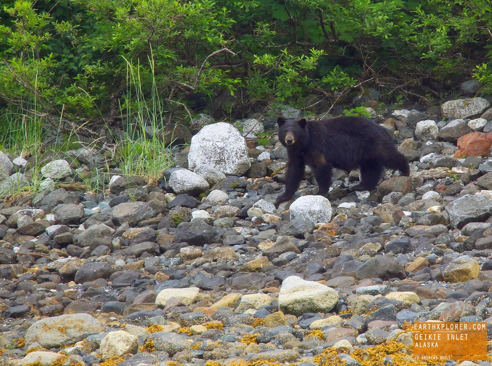 Black Bear on beach in Alaska.jpg