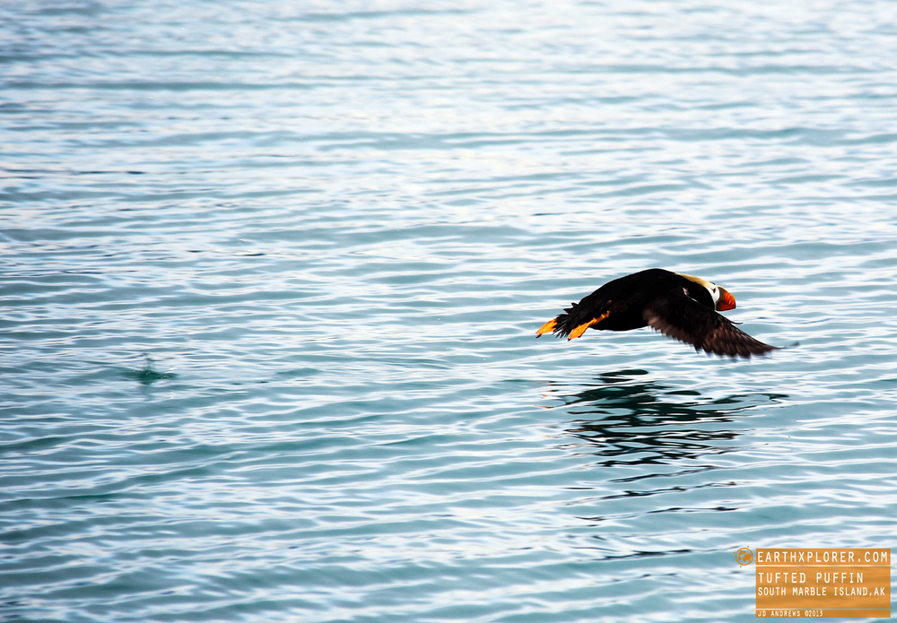 The Tufted Puffin is also known as Crested Puffin.