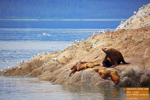 Sea Lions Hanging out on Marble Island Alaska.jpg