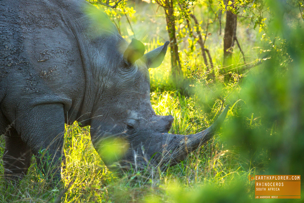 The white rhinoceros is the largest of the 5 species of rhinoceros.
