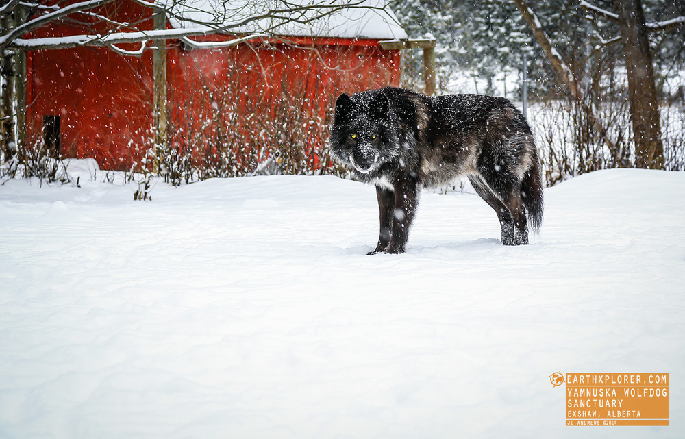 This is Zeus at the Yamnuska Wolfdog Sanctuary - A non-profit organization located in the Rocky Mountains near Canmore, Alberta.
