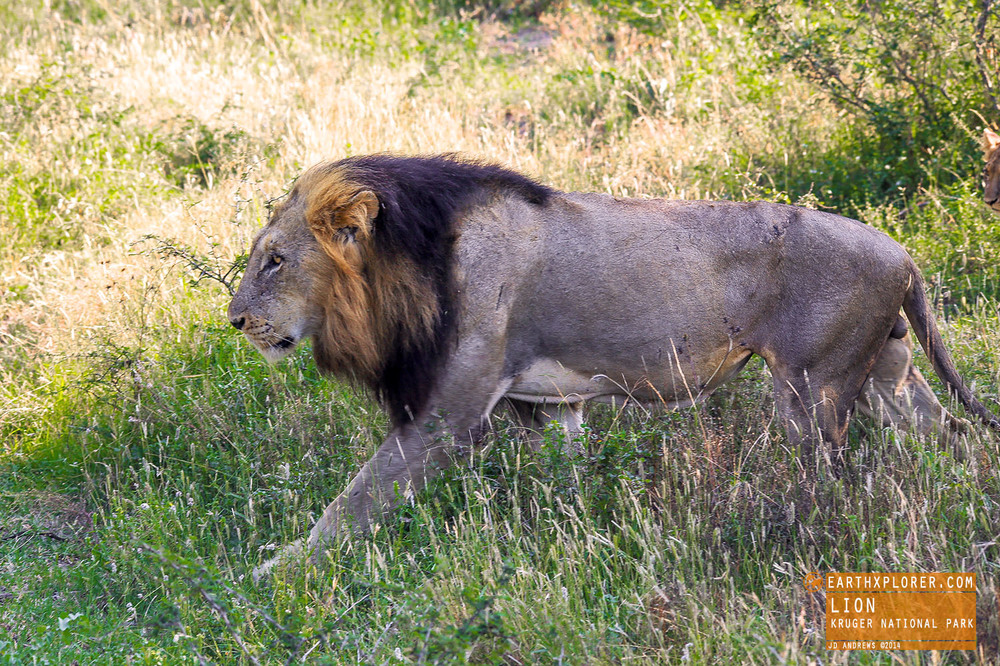 Both male and female lions roar, and that roar can be heard over five miles away!