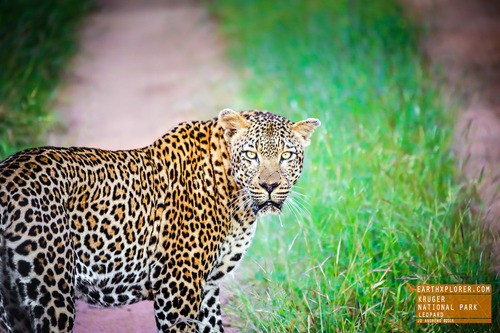 Leopards are graceful and powerful big cats closely related to lions, tigers, and jaguars.