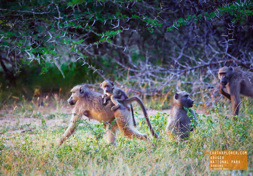 "The collective noun for baboons is commonly ""troop""."