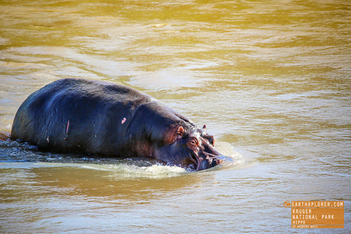 "Did you know the name hippopotamus is ancient Greek for ""river horse""?"