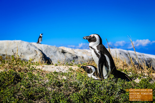 Cute African Penguins at Boulders Beach