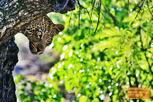 Curious Leopard South Africa.jpg