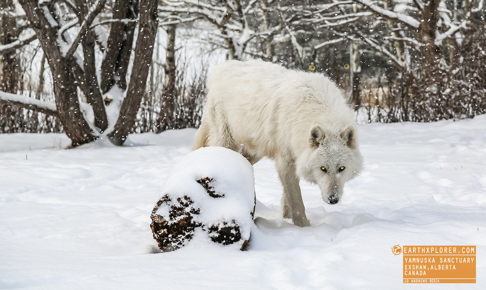 White Wolf Yamnuska Sanctuary Alberta Canada.jpg