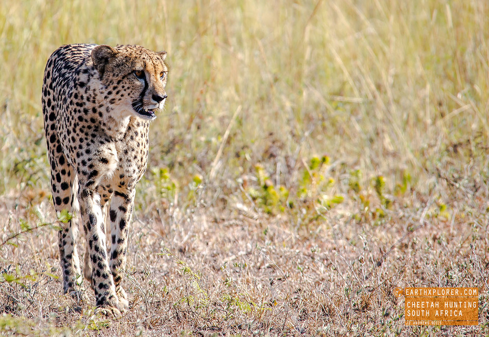 Cheetah Hunting in South Africa