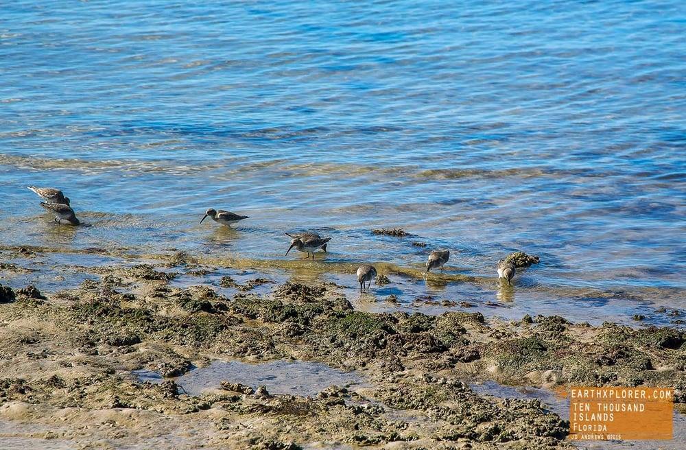 Wildlife Ten Thousand Islands Florida.jpg