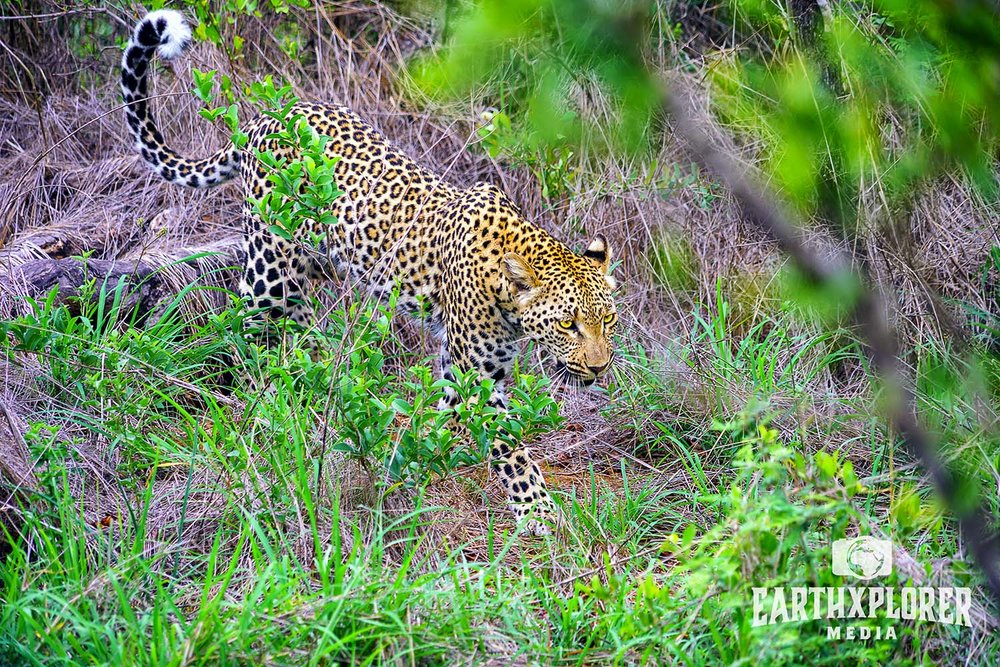 Leopard on the move in South Africa.jpg
