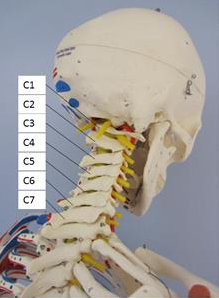 cervical spine.png