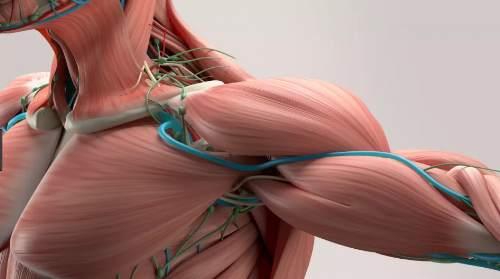 thoracic Outlet anatomy pic.png